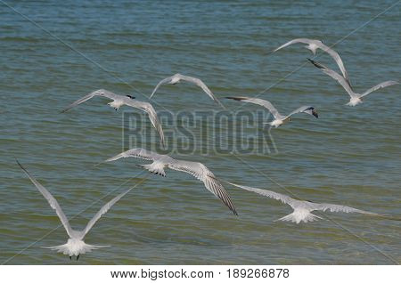 Group of flying terns flying over the ocean in Florida.