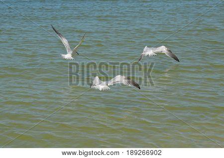 Three sandwich terns flying over the ocean.