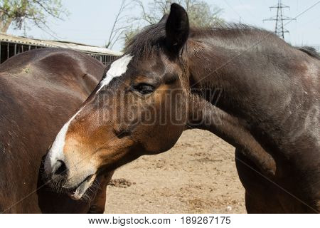 Two brown horses stand close to eachother in the pen