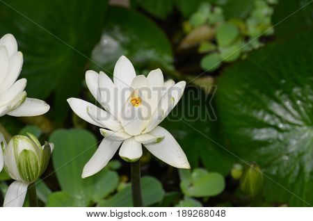 Water garden with a white Indian Lotus flower.