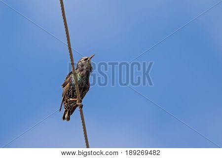 Common starling, also known as European starling bird in black with metallic sheen perching on cable with blue sky in Tasmania, Australia (Sturnus vulgaris)