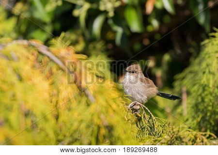 Cute little Superb Fairy Wren, Juvenile blue wren male bird with blue tail perching on pine tree in Tasmania, Australia (Malurus cyaneus)