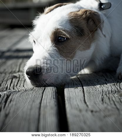Cute Dog Resting Outside in the Summertime.