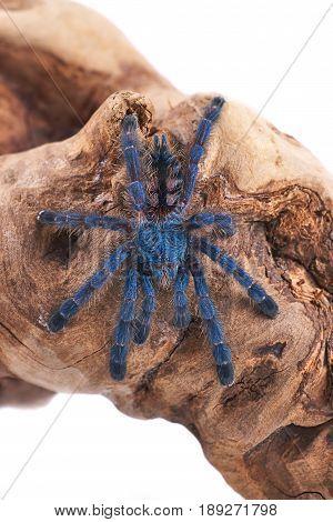 Tarantula spider a young individual (Avicularia versicolor)