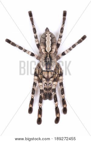 Tarantula spider female (Poecilotheria regalis) on a white background