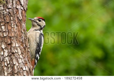 Greater Spotted Woodpecker (dendrocopos Major) On Tree Trunk