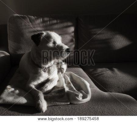 Sleepy Dog in the Sunlight Relaxing at Home. Picture in Black and White.