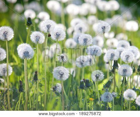 Field of Many Blooming Dandelions in Springtime