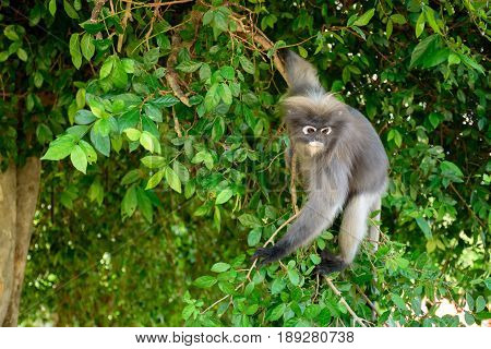 Dusky langur (Leaf monkey) on tree in nature
