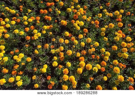 Closeup top view of colorful blooming yellow and orange tagetes or marigold flowerbed in sunshine with unfocused background
