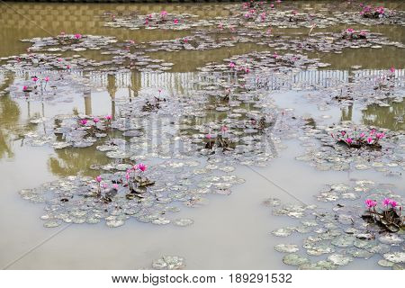 Dirty Polluted Pond With Dying Lotus Water Plant