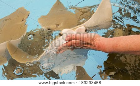 A Woman Feeds a Group of Stingrays by Hand