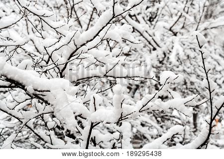 Snow covered tree branches in winter. Abstract seasonal winter background