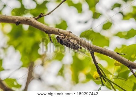 Cicada Bug. Cicada Insect. Cicada Macro. Cicada Stick On Tree At The Park Of Vietnam