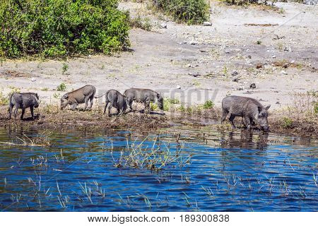 The herd of warthogs. Chobe National Park in Botswana. Watering large animals in the Okavango Delta. The concept of exotic and extreme tourism
