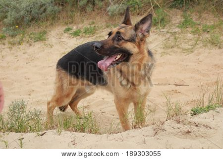 dog german shepherd in the dunes waiting for his master