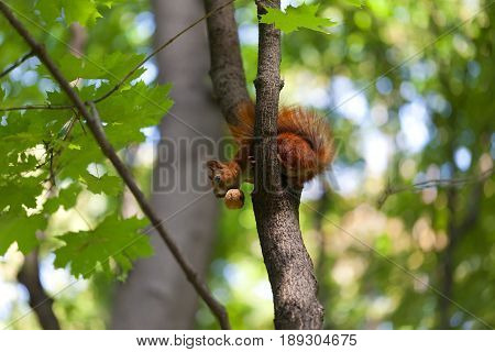 Red squirrel on tree with walnut in mouth looking down