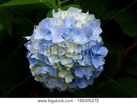 Single pale and green variegated hydrangea blossom in full bloom against dark background with green leaves
