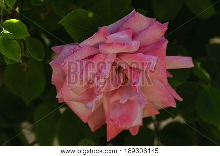 Against the background of dark green foliage red-pink petals of a large rose flower.