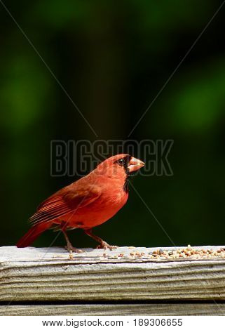Male cardinal, red bird, on wooden railing with bird seed and dark green and black bokeh in background