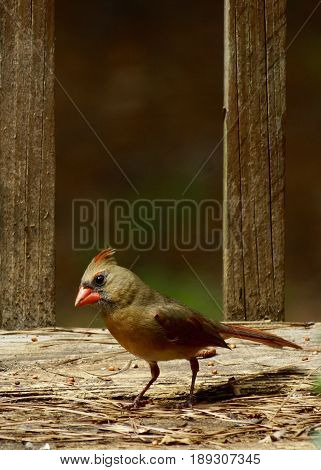 Immature female cardinal red bird on deck with seed and pine straw