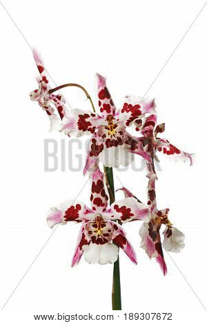 Purple And White Orchid Isolated On White Background