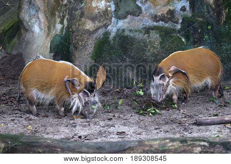 Unusual wild boar Singapore south east Asia