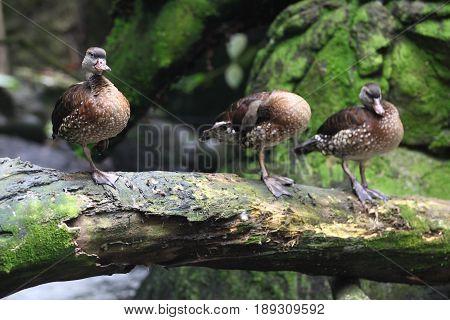 Waterfowl ducks on land Singapore southeast Asia