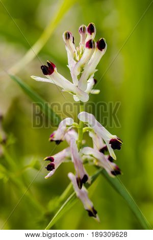 White ramping fumitory, Fumaria capreolata on green background