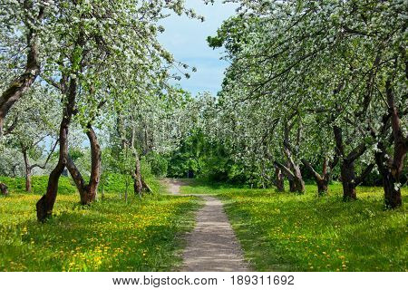Blossoming of the apple orchard in the Moscow garden.