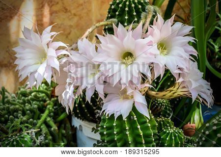 Blossom of Flowers of easter lily cactus
