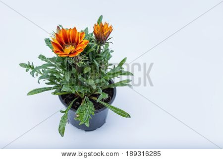 Gazania Dark Yellow Orange Flower From South Africa In A Pot Isolated On White Background