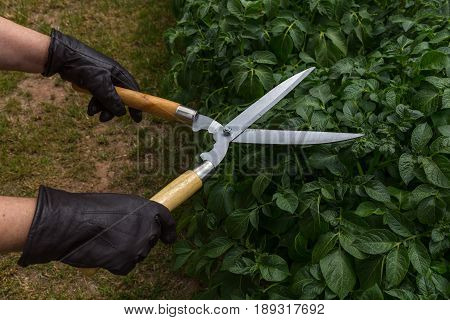 Garden Scissors - Wooden Handles - Cutting Pruning Trimming A Bush By Two Caucasian Hands In Brown L