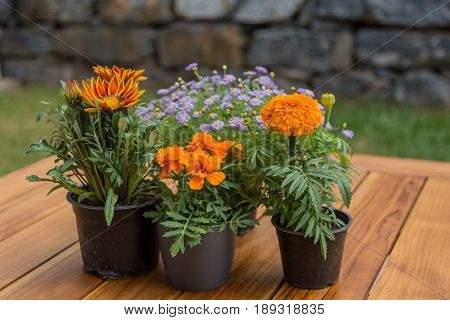 Brachyscome, Gazania, Tagetes Patula Many Different Flowers On A Wooden Table And Natural Rustic Sto