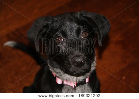 Black dog with sad puppy dog eyes