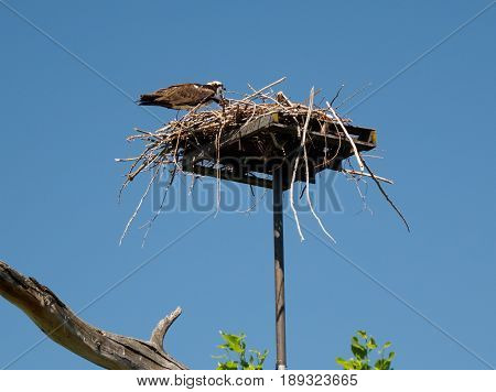 Osprey eating freshly caught fish at his nest