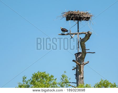 Osprey sitting at his nest against blue sky
