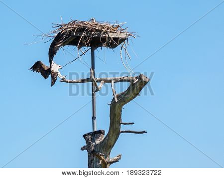 Osprey landing at his nest against blue sky