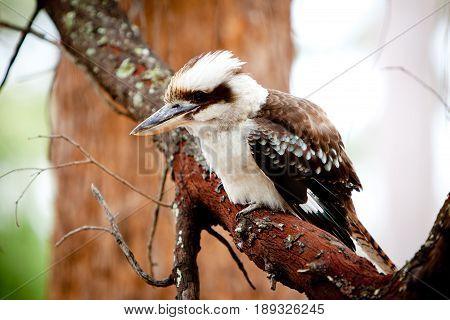 Juvenile Kookaburra in a tree - Australian native bird