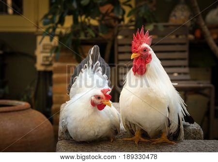 couple of white rooster Chicken on garden background