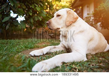 One Labrador Dog Lay On Park