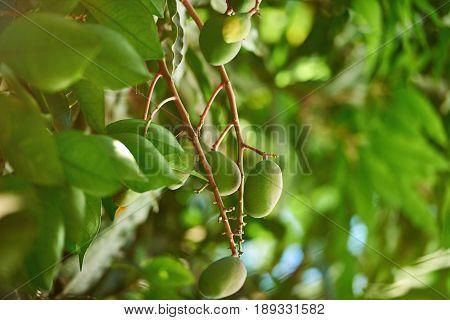 Mango Tree Branch