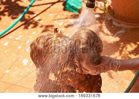 Spraying Water On Spaniel Dog