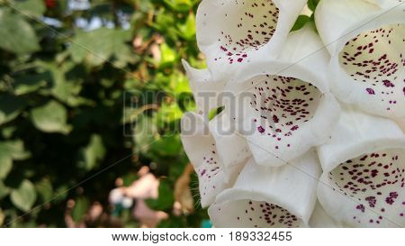 Foxgloves is one of the most beautiful flower on earth.