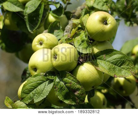 Apple tree branch with green apple fruits ready for harvesting