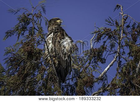 Juvenile Bald Eagle treetop with wind-blown feathers and bright blue-sky background.
