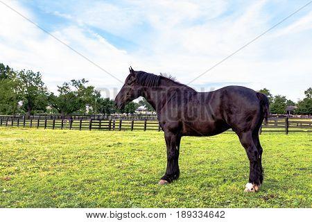 Black Percheron gelding standing in a spring pasture