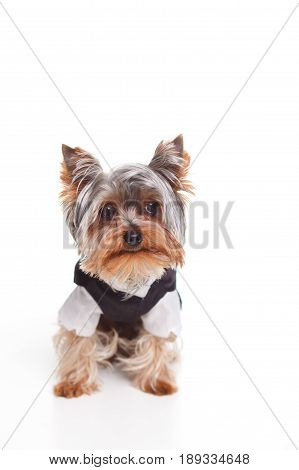 isolated dog Yorkshire terrier in a tuxedo on a white background