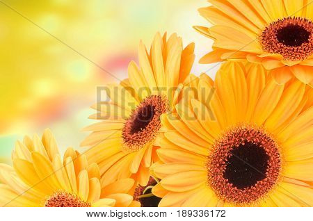 Bouquet of bright gerber flowers on color background