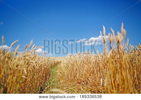 Blue sky and a field of wheat. Real color of ukrainian flag.